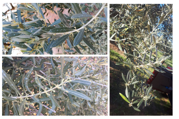 olive-sprouting