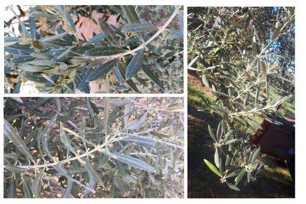brotaciones-olivo