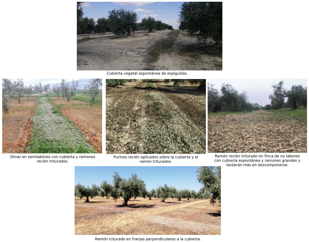 diferentes-ramones-para-manejo-olivar