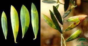 enfermedad-olivar-emplomado