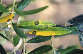 enfermedad-olivar-repilo
