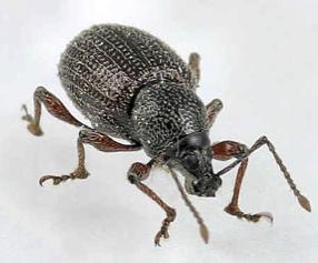 escarabajo-picudo-olivo