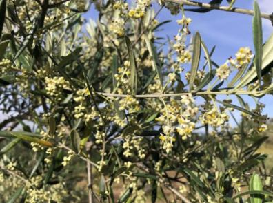 estado-sanitario-cuajado-olivo