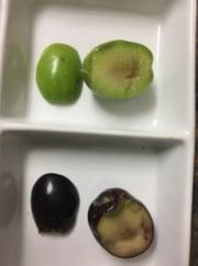 influencia-estado-maduracion-fruto