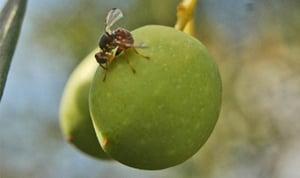 mosca-olivo