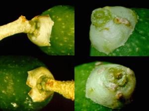 olive-moth-disease