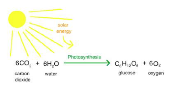photoshyntesis-plants
