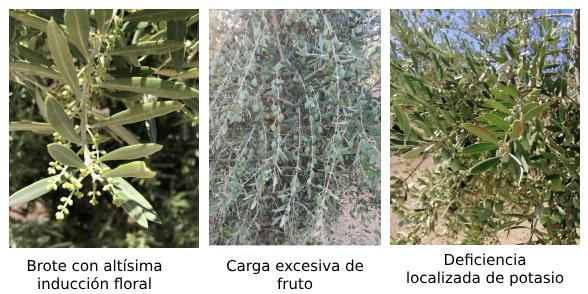 Poda en el olivo