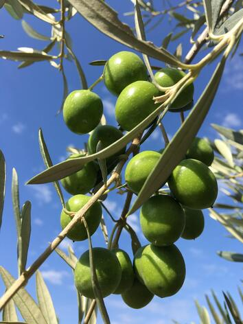perfect green olive in olive tree