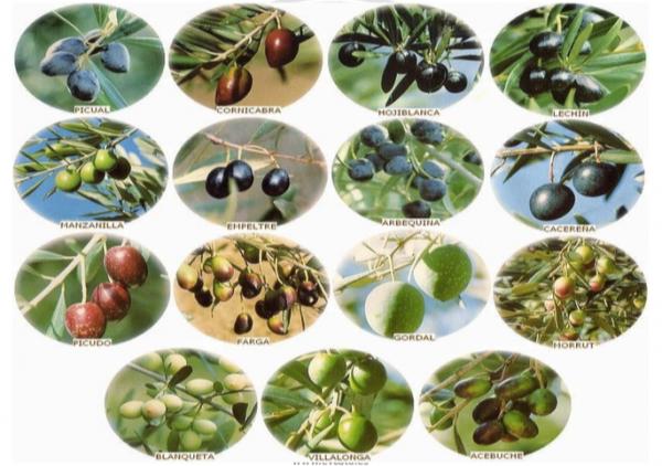 variedades-aceitunas-600x422