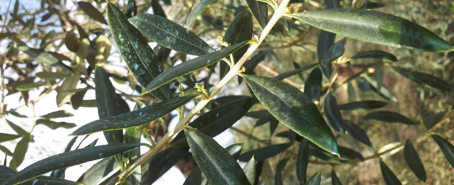 Critical moment: Olive sprouting