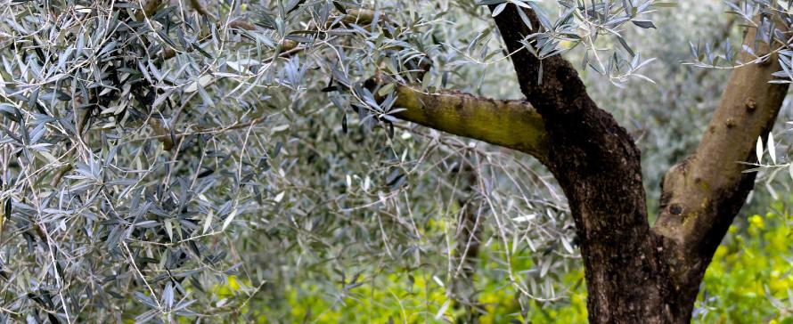 enfermedades-en-el-olivar
