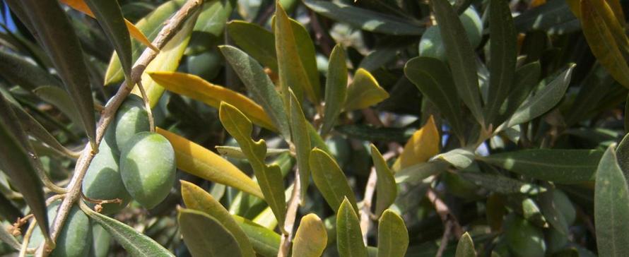 nutrition-olive-tree-calcium-and-magnesium