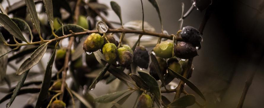 plagas-comunes-olivo