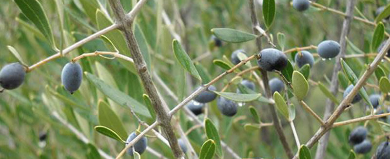 the-olive-tree-as-domesticated-plant