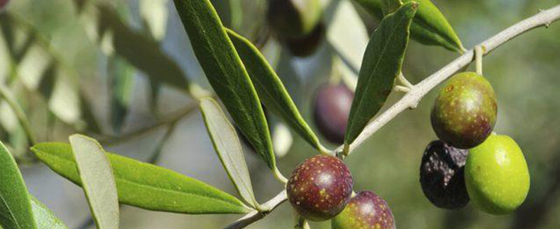 the-olive-tree-as-perennial-mediterranean-woody-plant